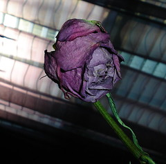 Wilted (Violet_Fury) Tags: rose purplerose wiltedrose