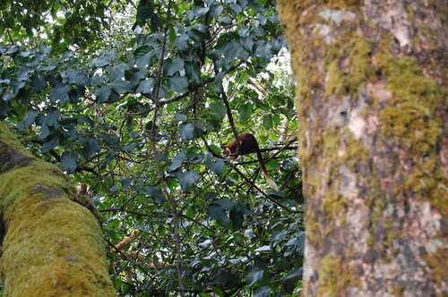 Giant Malabar Tree Squirrel