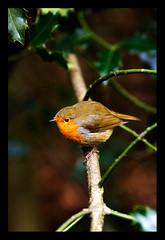 robin2 (M*I*K*E) Tags: nottingham uk red england tree bird mike robin photography breast wildlife sutton ashfield rufford nottinghamshire swanwick