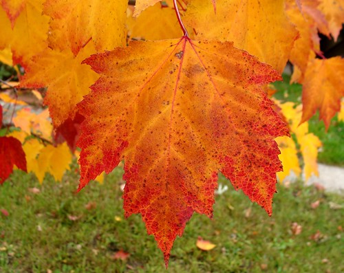 Photo of maple leaves in Coldwater, Michigan