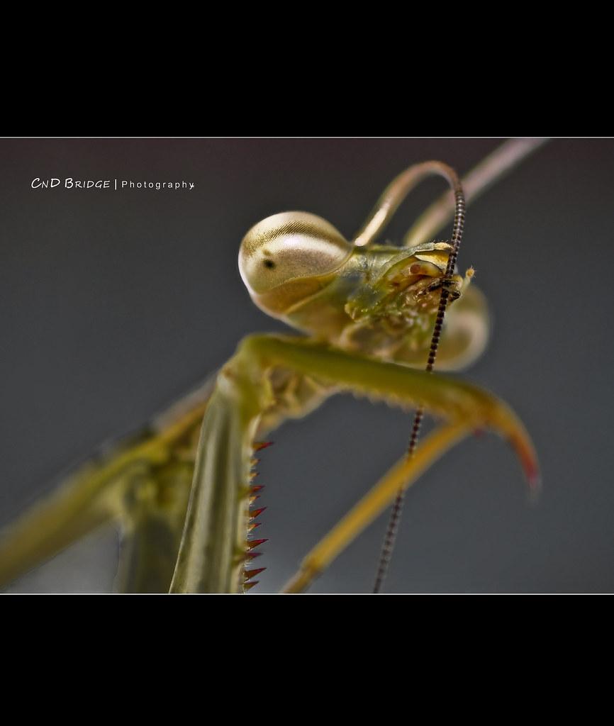 Praying Mantis - How Do I Look?
