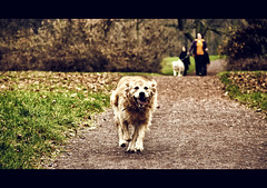 The Dog That Found The Camera (rasenkantenstein) Tags: park autumn people dog motion colour green dogs germany outside golden warm action path running run human magdeburg german retreiver humans goldenretreiver