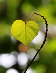 my heart for you, my Flickr friends ..... (kyuen13) Tags: canon leaf heart bokeh 7d