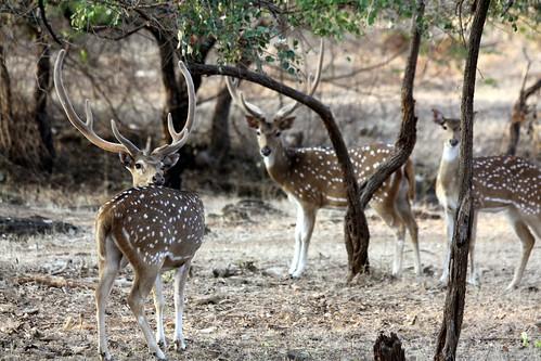 Low 2009-11-29 Sasan Gir - 01 Safari 20