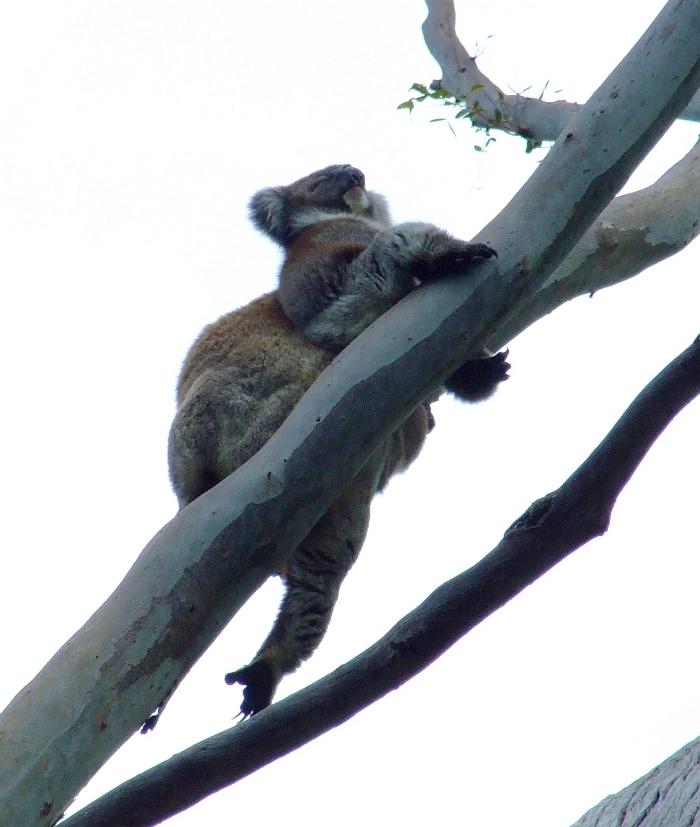 mama koala with baby koala 01