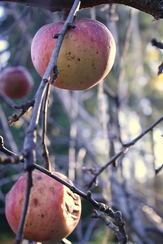 The Last Apples
