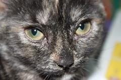 Gatuna Lupe (P. Len) Tags: ojos gato gata gatunalupe