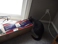 Loki knocked over the boxed christmas tree (jon_a_ross) Tags: christmas cats cat loki dsh graycat greycat domesticshorthair catsatchristmas