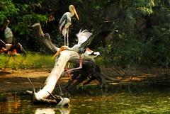 ...splash (Berto Means Berto) Tags: wild india bird nature animal nikon asia wildlife natura d200 animale hindustan fabiobertuzzo bertomeansberto
