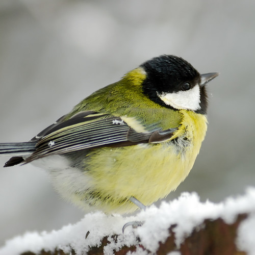Great Fluffy Ball of Great Tit