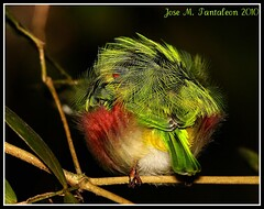 4-TRIVIA!!! Donde esta su piquito??Con su pijamita verde estrujada y su piquito que asoma. Justamente en el momento mas oscuro y antes de que salga el sol. Barrancoli-Todus subulatus-Broad-billed Tody. Rabo de gato. S. de Bahoruco (Cimarrón Mayor 12,000.000. VISITAS GRACIAS) Tags: verde amigo rojo dominicanrepublic colores sierra amarillo ave perla republicadominicana morfeo panta plumas dormida dominicano rabodegato dedicación barrancoli endemica bahoruco dumiendo canoneos40d canon40d broadbilledtody todussubulatus sierradebahoruco cimarronmayor residentereproductor telefoto100400 tonoinigo