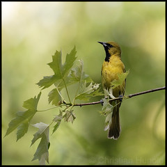 orchard oriole (immature male) (christianhunold) Tags: bird philadelphia immature songbird tinicum johnheinznwr orchardoriole christianhunold