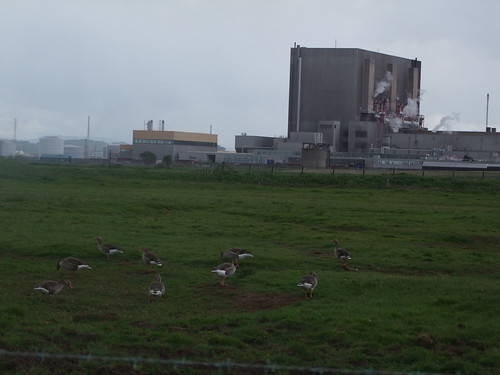 Greylag Geese in front of Hartlepool Nuclear Powerstation