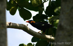 Hill Myna (Jake M. Scott) Tags: bird florida miami exotic religiosa myna hillmyna mynabird gracula