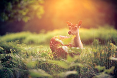 in the undergrowth (andrew evans.) Tags: lighting wood morning trees light summer england sun tree nature grass fairytale forest sunrise landscape golden countryside kent woods nikon bokeh wildlife deer ethereal flare f2 sunrays wonderland storybook magical enchanted d3 135mm