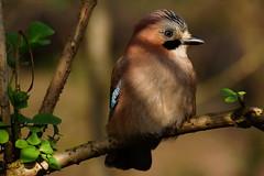 DSC00744 - Jay (steve R J) Tags: london birds gardens jay explore british kensington