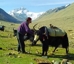 Unpacking our Yaks,Campground is here at Rongbuk (reurinkjan) Tags: 2002 nature wow tibet everest sagarmatha rongbuk chomolungma 8848m jomolangma utsang tibetanlandscape tingricounty ཇོ་མོ་གླང་མ janreurink བོད། བོད་ལྗོངས། དབུས་གཙང་། རྫ་རོང་ཕུ་དགོན་ དིང་རི་རྫོང་ saintmother