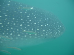 Whale Shark, Side On