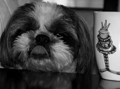 The Prince and the Princess.... (negra223) Tags: blackandwhite bw dog pet tongue table kiss funny princess sweet prince frog mug crown gizmo companion whataham thebestdog mydaughters herlife
