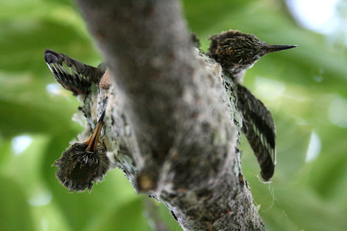 Attleson Farm: RIP Baby Hummingbirds