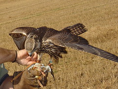 watch ya fingers Dave (edgemyster) Tags: dave scott sweetpea falconry