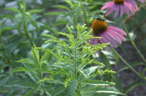 Ragweed Pictures Plant Infamous Plant Ragweed