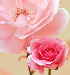 pink roses (Wils 888) Tags: pink roses flower rose closeup lens 50mm prime nikon blossom nikkor d90 nikond90 100commentgroup