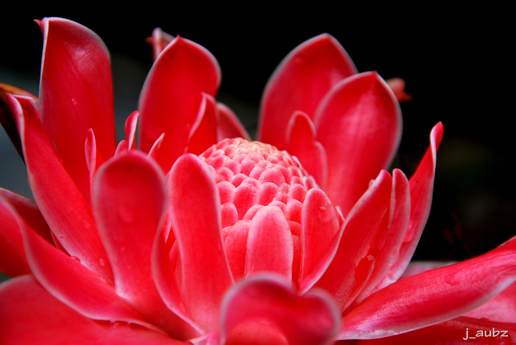 Red Torch Ginger : <WINNER: j aubz!> THEMED Hamon Ko 'to 194 - FLOWER(S)