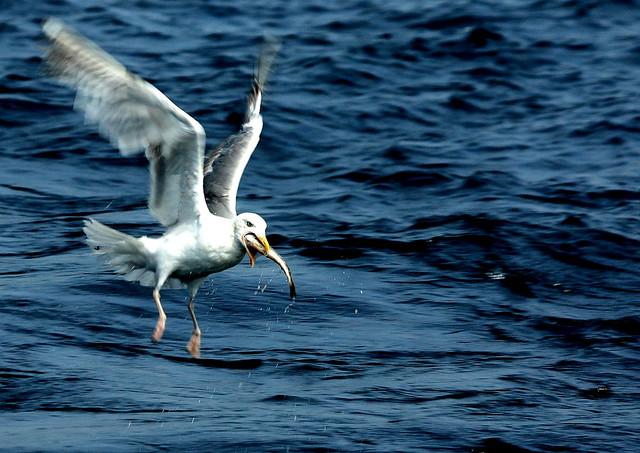 fishy gull by Tobias gone undercover
