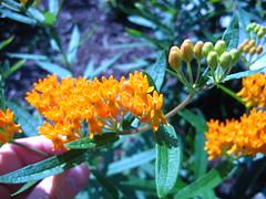 Butterfly weed (Artframegirl) Tags: orange plants home yard garden weed herbgarden butterflyweed