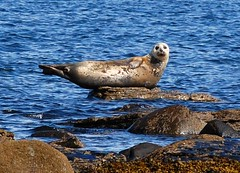 Seal Watching (Gaz-zee-boh) Tags: blue ireland sea nature seal seashore coclare bannercounty 5photosaday almostanything naturewatcher pinnepeds liscannorbay atlanticseals irishseals