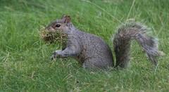 Grey Squirrel (Katie Fuller @bogbumper) Tags: mammal moss furry squirrel nest alien fluffy greysquirrel thelodge drey