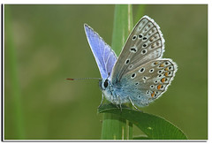 Polyommatus icarus - Icarus blue ( Belgium ) (henk.wallays) Tags: nature up close wildlife butterflies henk wallays
