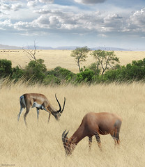 Once Upon a Time in Kenya - 2 - (Ben Heine) Tags: voyage africa light summer favorite motion art texture nature grass clouds composition race print soleil movement bush dof herbs kenya pov lumire quality duo horizon compo nikond70s ox safari oxygen exotic onceuponatime harmony serenity antelope pace savannah horn copyrights herd depth antilope rhythm hunt masterpiece nationalgeographic chasse discover dcouverte afrique wildanimals faraway highres herbes profondeur buissons cornes savane travelog troupeau softcolours exotism pturage brouter nationalgeography animauxsauvages iltaitunefois benheine hubertlebizay hubzay saariysqualitypictures flickrunitedaward infotheartisterycom
