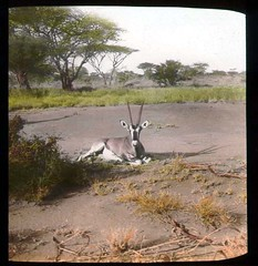 Beisa oryx in a field (The Field Museum Library) Tags: africa expedition mammals somalia zoology 1896 carlakeley specimencollection dgelliot