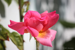 Flor I / Flower I (Nuno-Gomes) Tags: travel red roses flower beautiful rose canon countryside bestof great explore greatshot splendid discover nunogomes excelent 450d canoneos450d canonefs55250mmf456is mygearandmepremium mygearandmebronze mygearandmesilver mygearandmegold mygearandmeplatinum mygearandmediamond ngomes