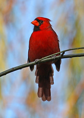 Crimson Knight (soccersc(Jim Allen)) Tags: bird birds cardinal wildlife charlestonsc interiordesign cardinaliscardinalis birdwatcher songbirds summervillesc 14kgold wildlifeart wildlifephotography thegalaxy fineartprints avianexcellence eiap platinumheartaward goldstaraward 100commentgroup dragondaggerphoto dragondaggeraward soccersc lakeashborough birdqualityonlyclub mygearandme mygearandmepremium naturallyjimallen