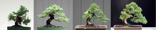 juniper procumbens nana bonsai