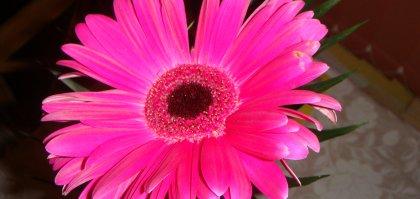 Blume Gerbara