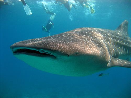 shale sharks