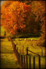Autumn Graze (Imagemakercan - The Lensdancer) Tags: autumn fall texture fence amber warm colours bc sheep country langley grazing mywinners joygerowphoto anawesomeshot joygerow majesticnature theawardtree sensationalcreations dramaticimpressionsphotography fencefriday