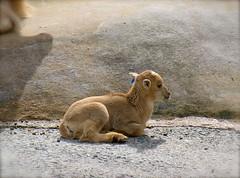 Barbary Sheep, Taronga Zoo, Sydney (ellen.patrice) Tags: sydney tarongazoo barbarysheep