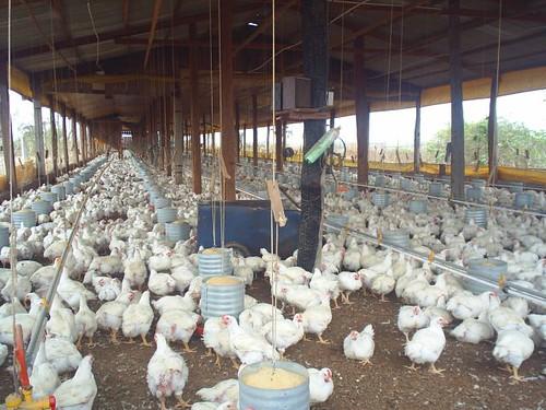 14.Avicultura