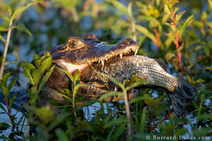 Caiman eating a fish (Burrard-Lucas Wildlife Photography) Tags: brazil fish eye eating teeth tail eat jaws cayman caiman pantanal