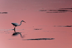 PINK WATERS (fabiogis50) Tags: sardegna light sunset bird nature tramonto crop rs bellissima topseven wingedwonders canoneos5dmarkii betterthangood goldstaraward stagnodisantagilla magisterartium landscapeworldbeauties goldsealings solobellissimissima ilfilodarianna aboveandbeyondlevel4 aboveandbeyondlevel1 allofnatureswildlifelevel1 allofnatureswildlifelevel2 allofnatureswildlifelevel3 allofnatureswildlifelevel4 allofnatureswildlifelevel5 allofnatureswildlifelevel8 allofnatureswildlifelevel6 allofnatureswildlifelevel7 allofnatureswildlifelevel9 aboveandbeyondlevel2 aboveandbeyondlevel3 vigilantphotographersunite vpu2 vpu3 vpu4 vpu5 vpu6 vpu7 vpu8 vpu9 vpu10