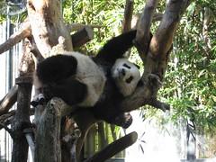Panda at SD Zoo
