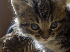 Cross eyed kitten (Ewan Bellamy) Tags: blue cute cat crosseyed kitten tabby whiskers stripy r507