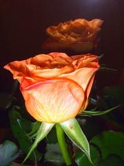 Reflejos... (Lumiago) Tags: orange rosa naranja soe flowerscolors masterphotos flickraward mimamorflowers flickrflorescloseupmacros