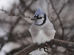 Brrrrrrrrrrrrr!!! A story! (Tony Tanoury) Tags: blue wild snow cold tree bird nature animal closeup fauna bill frost jay michigan wildlife beak feather crest bluejay perch frigid ornithology birdwatching avian cyanocittacristata blueribbonwinner supershot mywinners abigfave platinumphoto anawesomeshot flickraward avianexcellence flickrdiamond vosplusbellesphotos