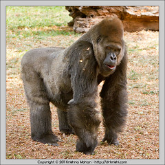 Gorilla  at Mysore  Zoo (drkrishi) Tags: india zoo asia gorilla karnataka mysore mammalia primates westernlowlandgorilla gorillagorilla chordata hominidae westerngorilla mysorezoo gorillagorillagorilla srichamarajendrazoologicalgardens drkrishi drkrishicom